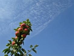 So. Many. Apples.