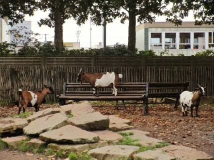 Some goats hanging out in a petting zoo in the Nantes botanical garden.