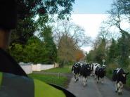 Our bus to Newgrange had to pause for some cows to pass.